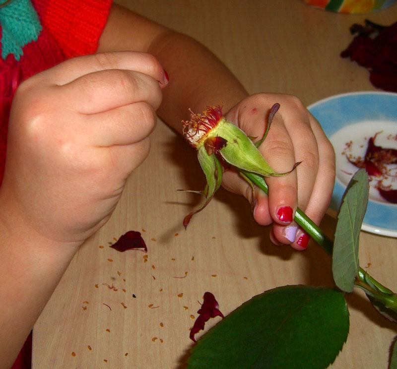 Pitva ruze - experimenty pre deti
