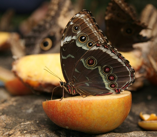 Životný cyklus motýľa – Monarch sťahovavý